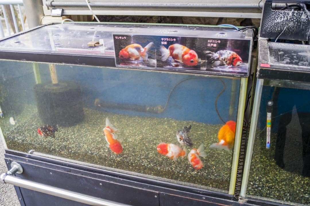江戸川区自然動物園の金魚ランチュウ