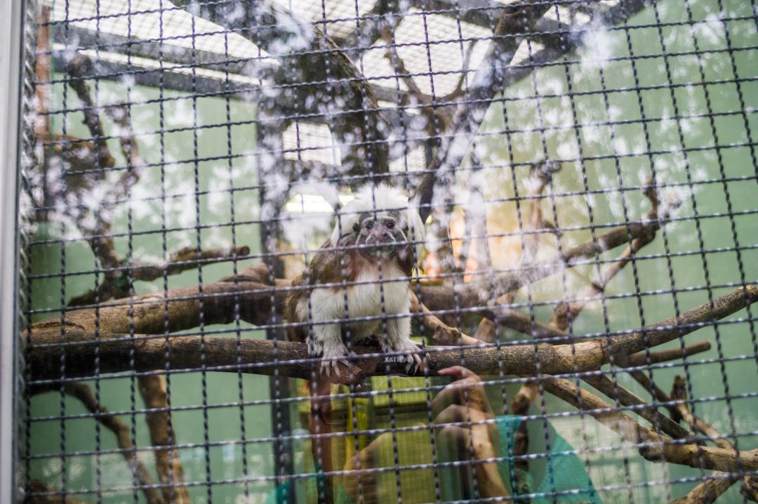 江戸川区自然動物園のワタボウシパンシェ