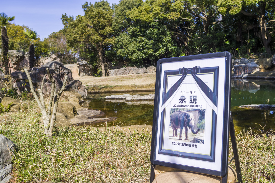 天王寺動物園アジアゾウのラニ―博子