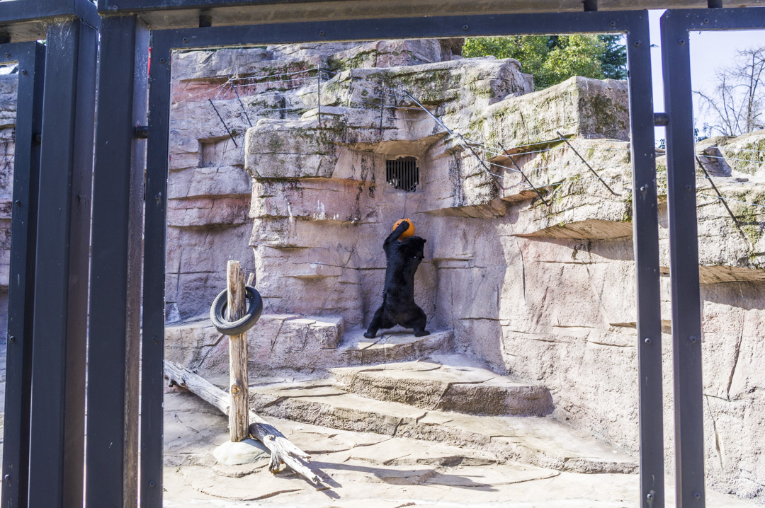 天王寺動物園の二ホンツキノワグマ