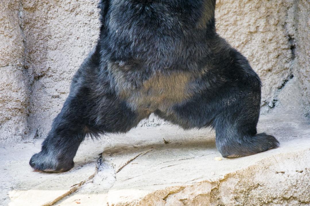 二ホンツキノワグマの後ろ脚
