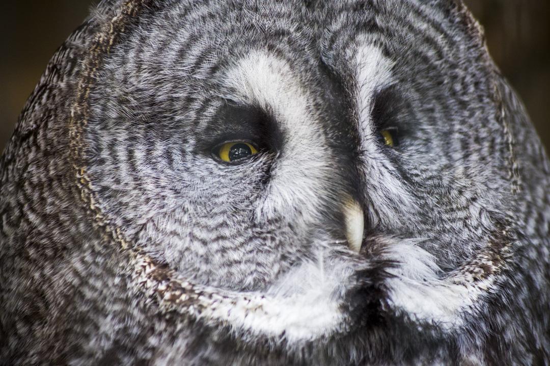 天王寺動物園のカラフトフクロウ