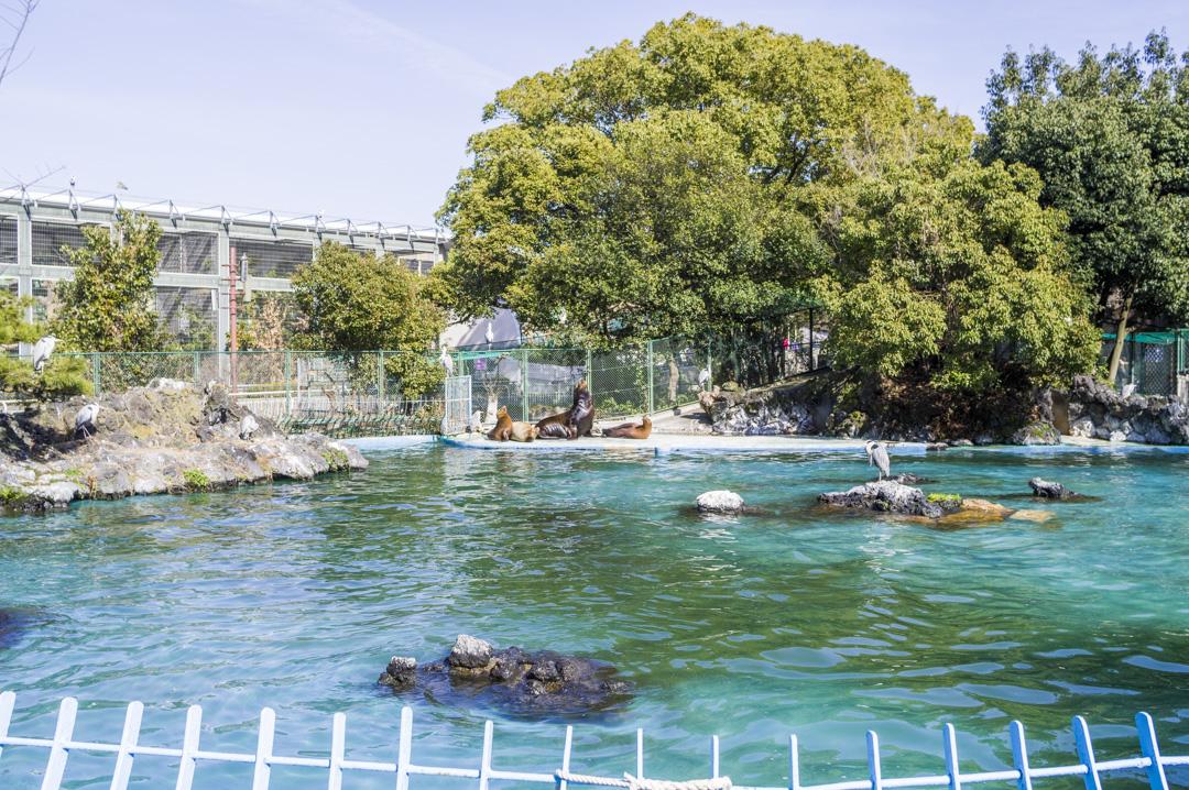 天王寺動物園プールのアシカ