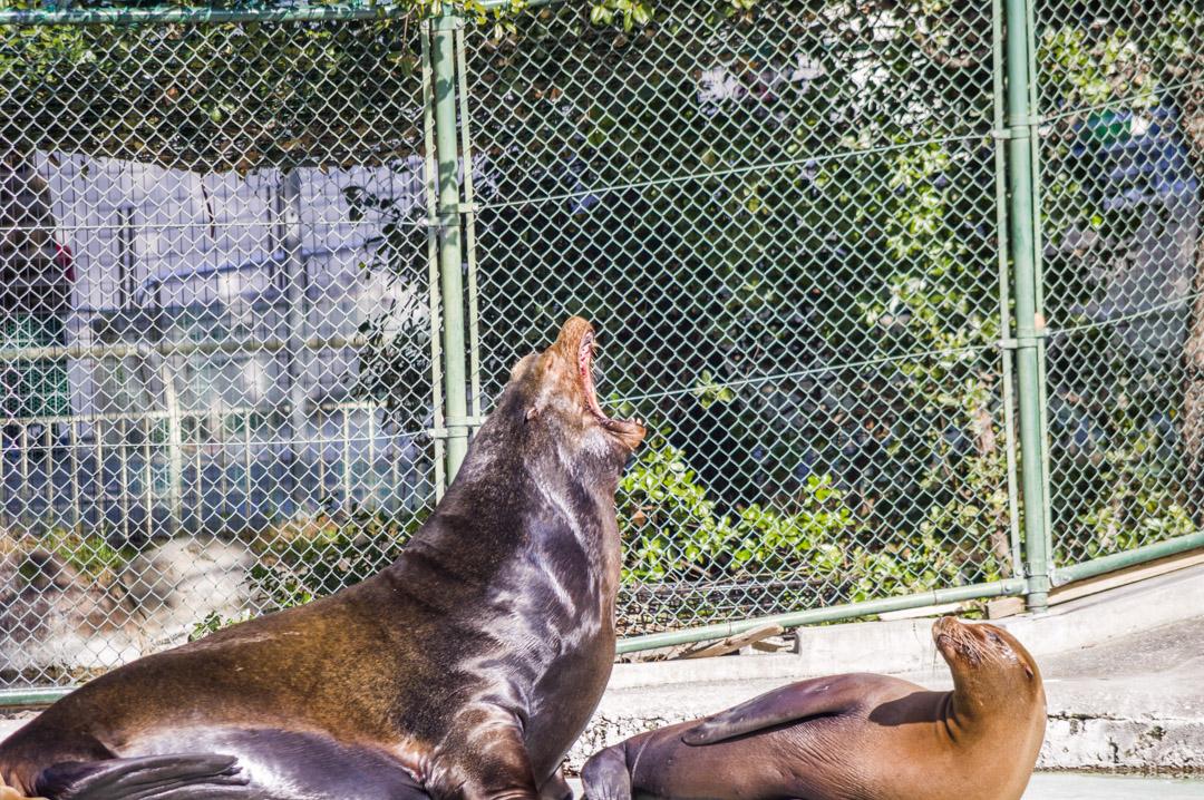 吠えるカリフォルニアアシカ天王寺動物園