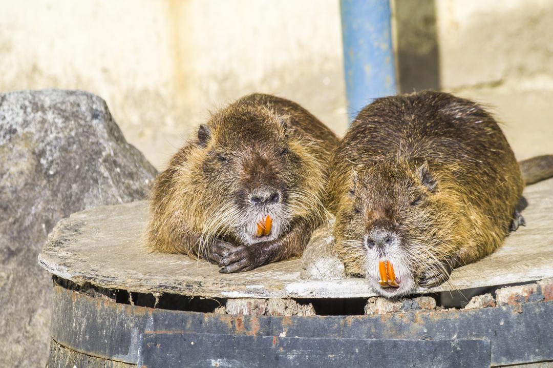 日本では害獣扱いの天王寺動物園のヌートリア