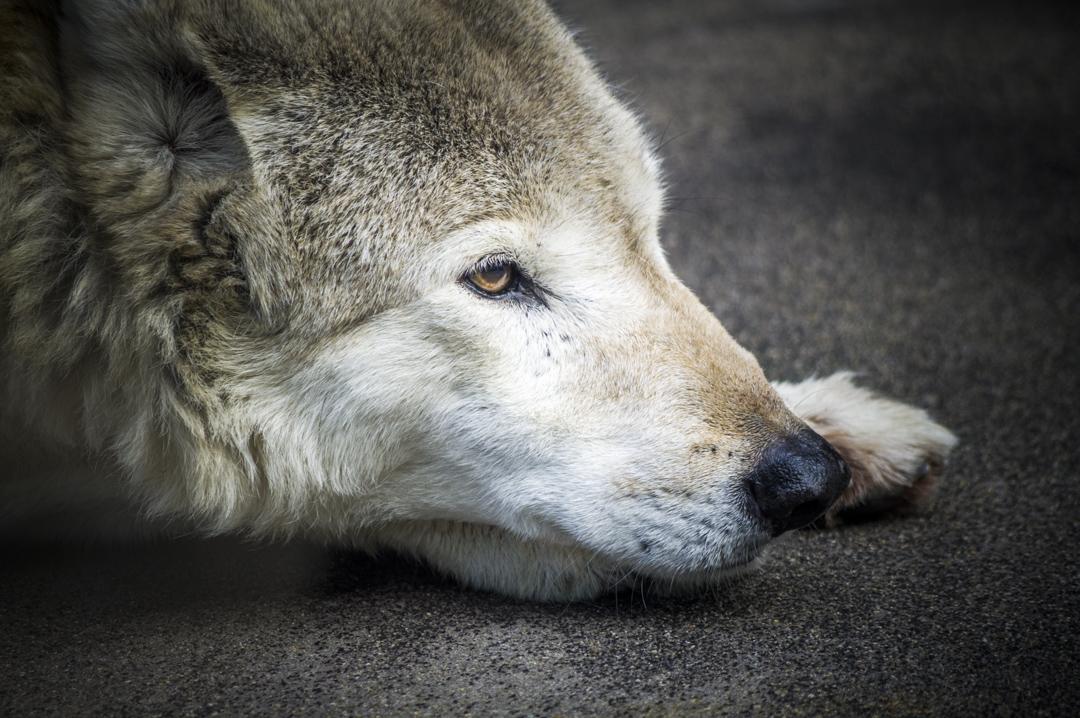 天王寺動物園のチュウゴクオオカミ