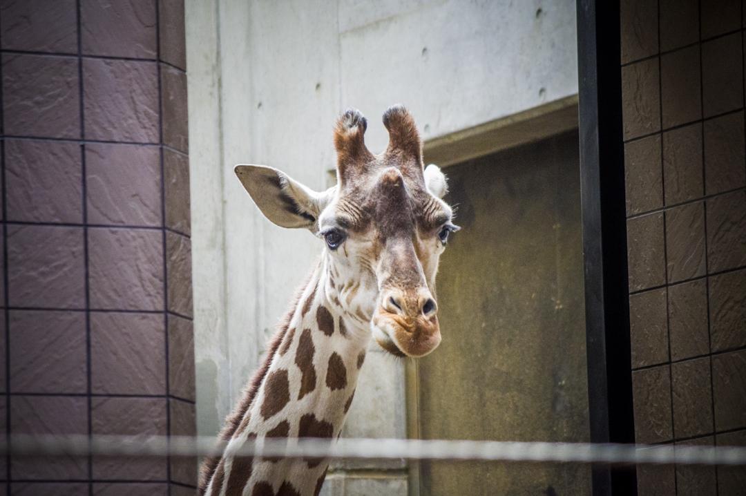 天王寺動物園のキリンのまなざし