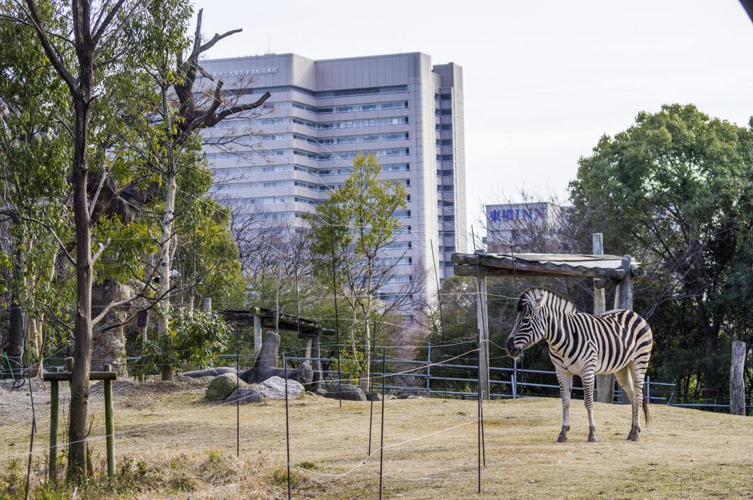 天王寺動物園のグラントシマウマ