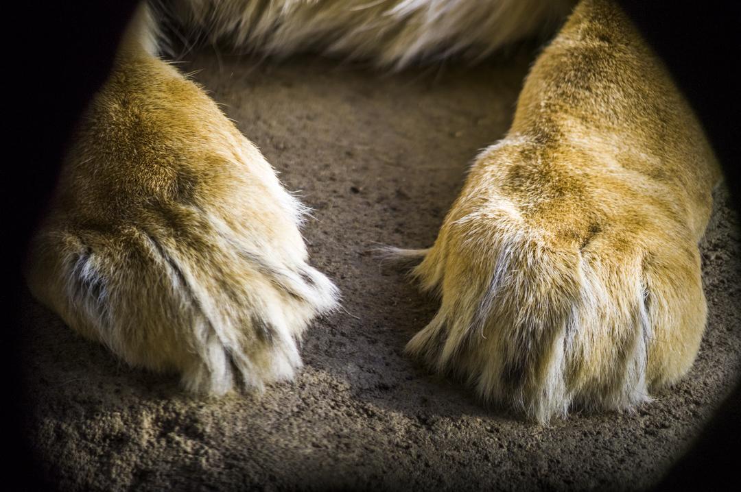 ライオンの前足と爪