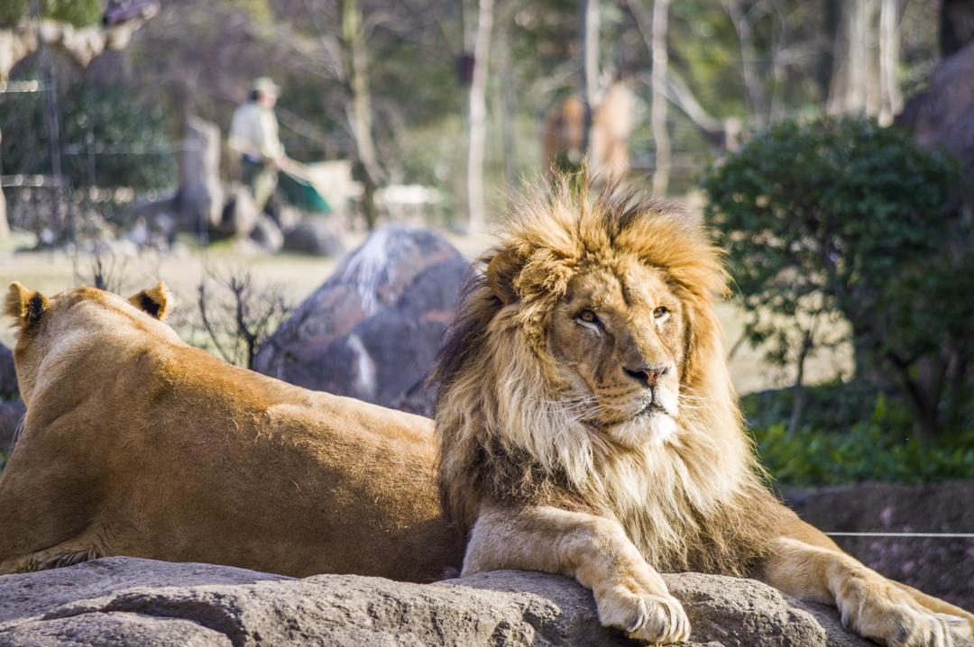 天王寺動物園のライオンのアップ