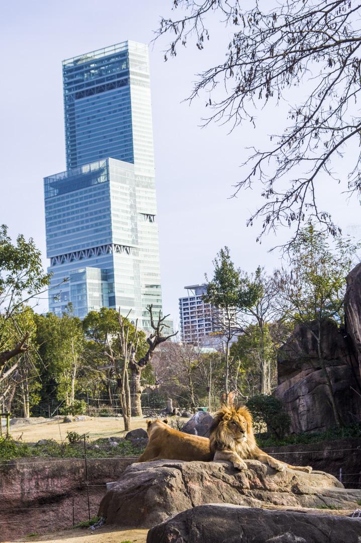 天王寺動物園でライオンとあべのハルカスの夢のコラボ