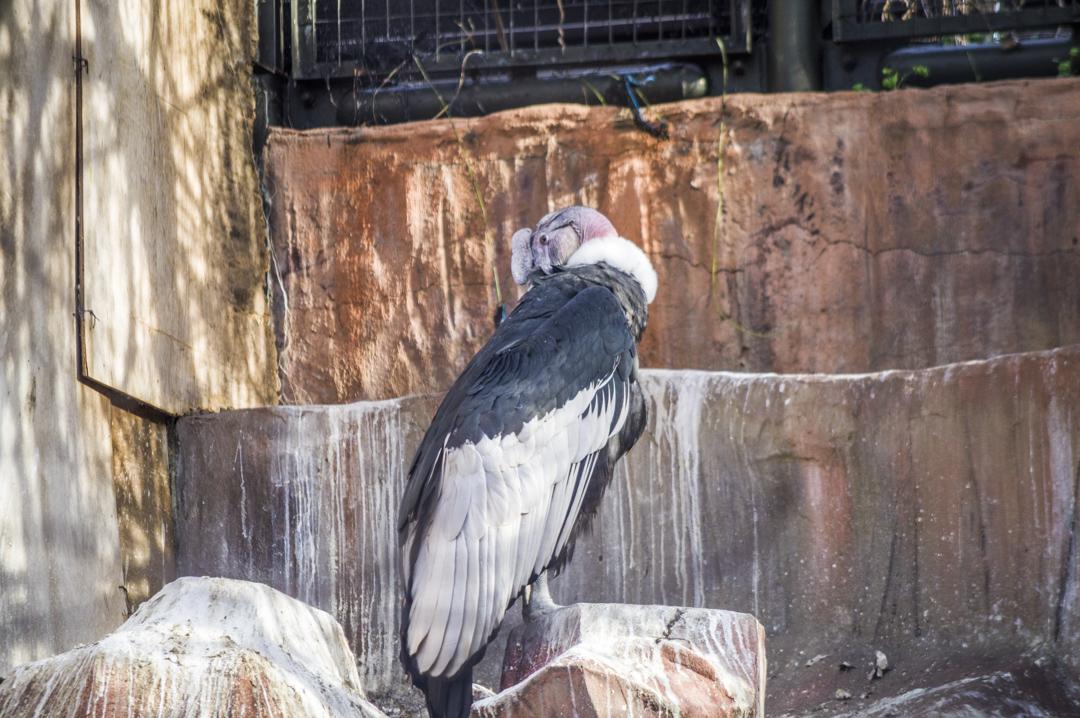 天王寺動物園の猛獣コンドル