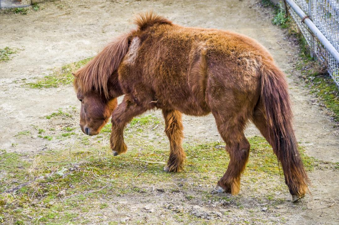 天王寺動物園にいる日本在来馬野間馬