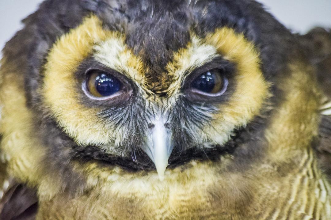 掛川花鳥園のオオフクロウ