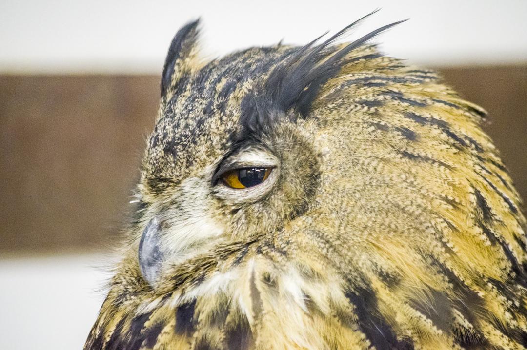 掛川花鳥園のユーラシアワシミミズクのセクシーな目線