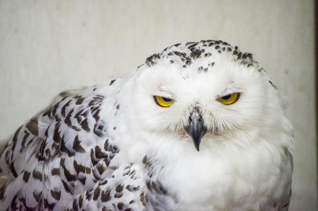 掛川花鳥園のハリーポッターが飼ってることで有名なシロフクロウ