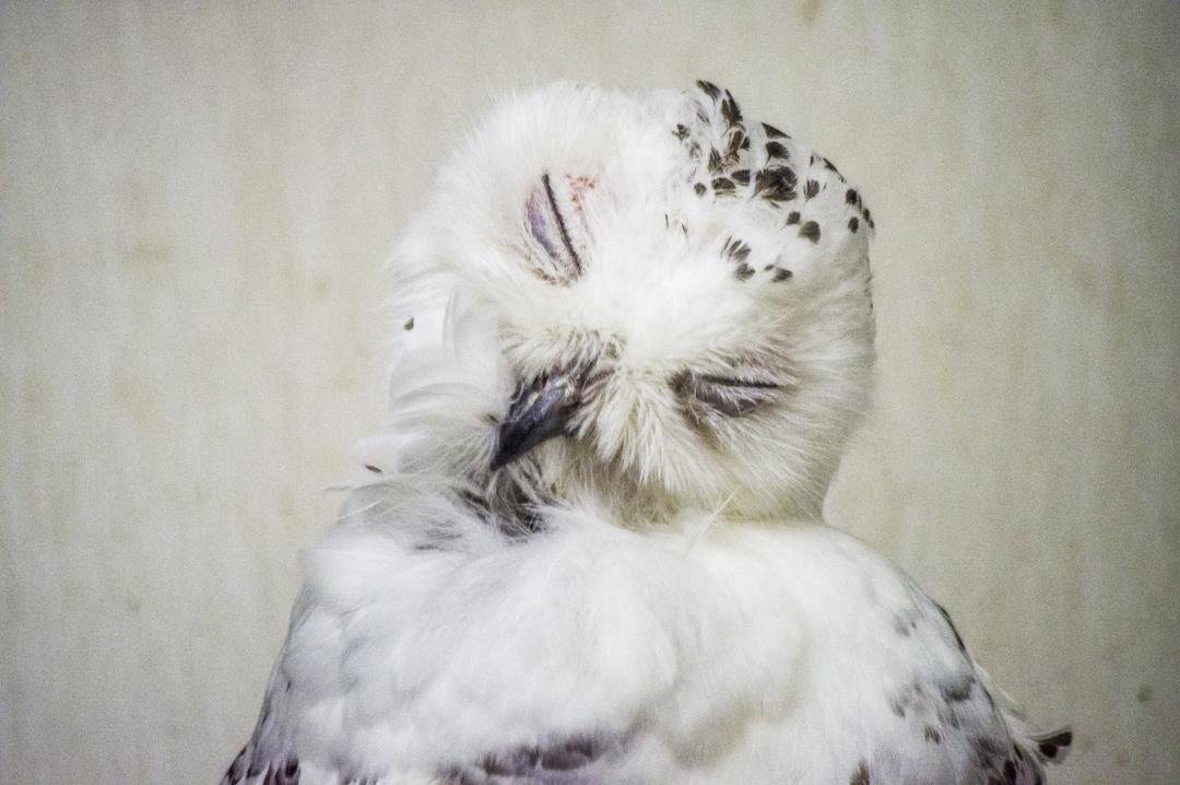 掛川花鳥園のシロフクロウデスピサロ風
