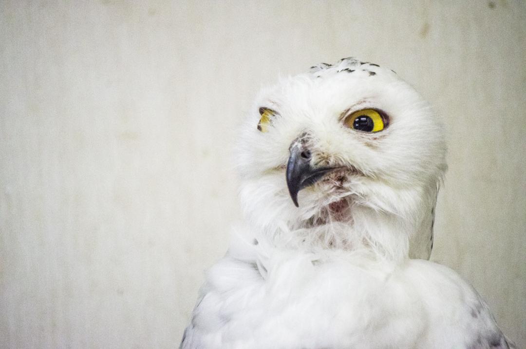 ハリーポッターの買っているヘドウィグの種類白フクロウ