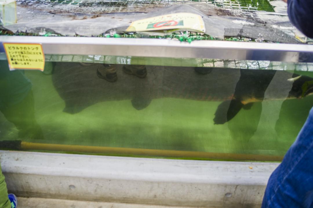 掛川花鳥園の巨大魚ピラルク