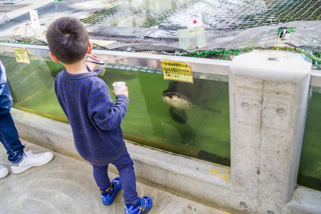 掛川花鳥園の巨大魚にエサやり