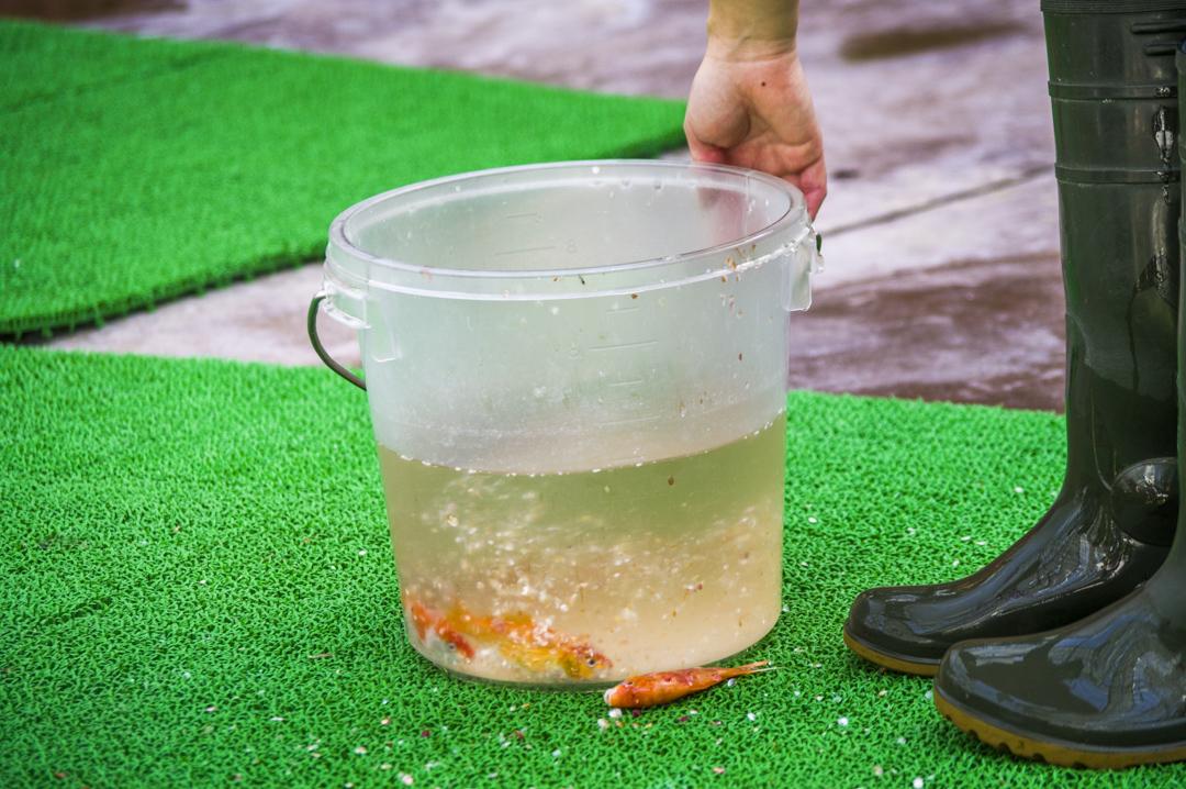 ハシビロコウのエサの魚