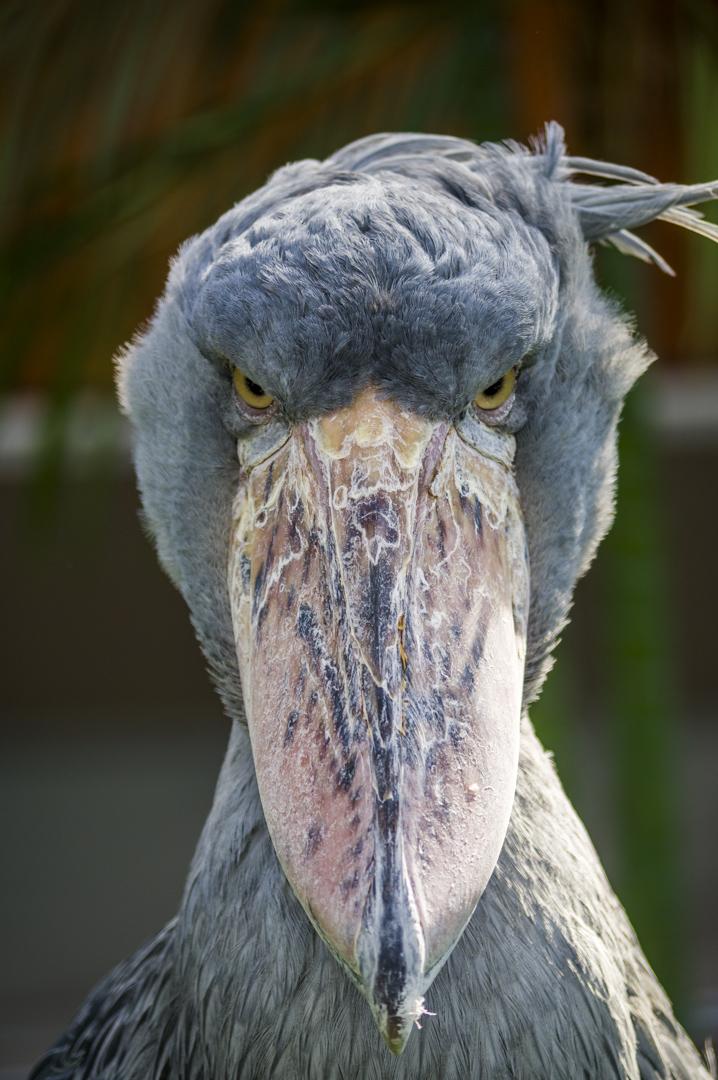 ハシビロコウがマスコットの掛川花鳥園