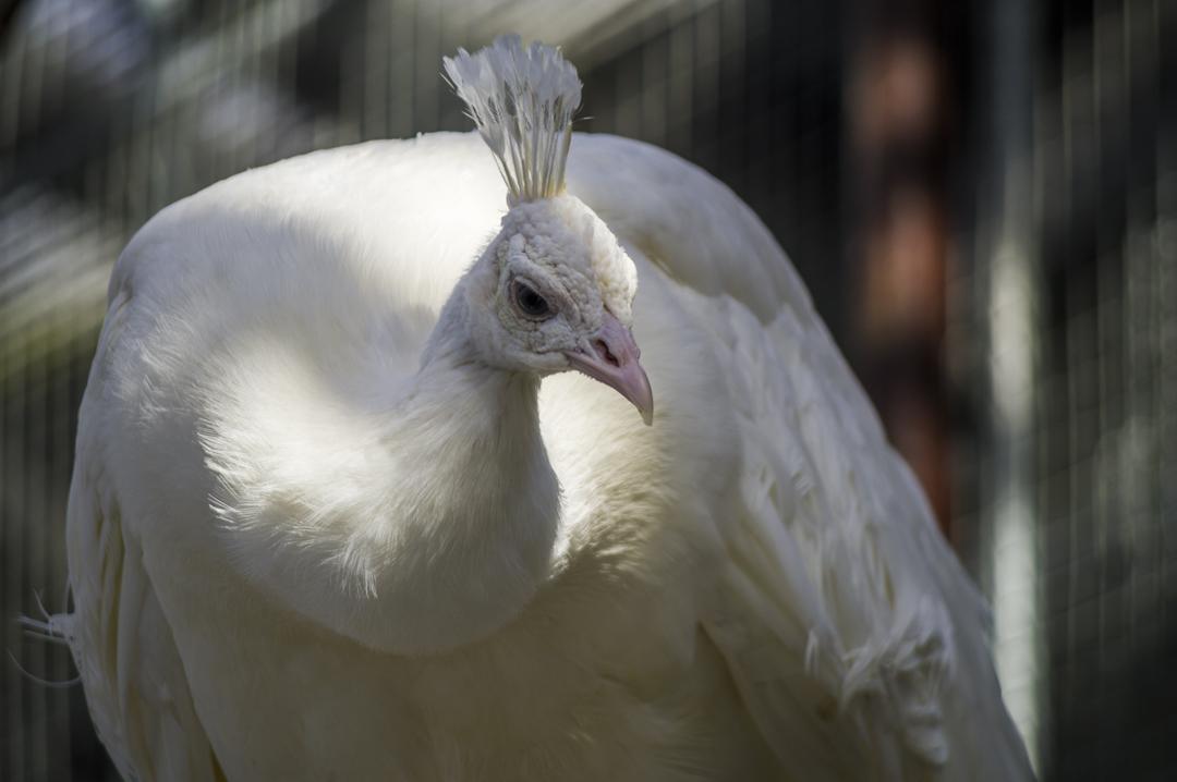 掛川花鳥園の珍しい白孔雀
