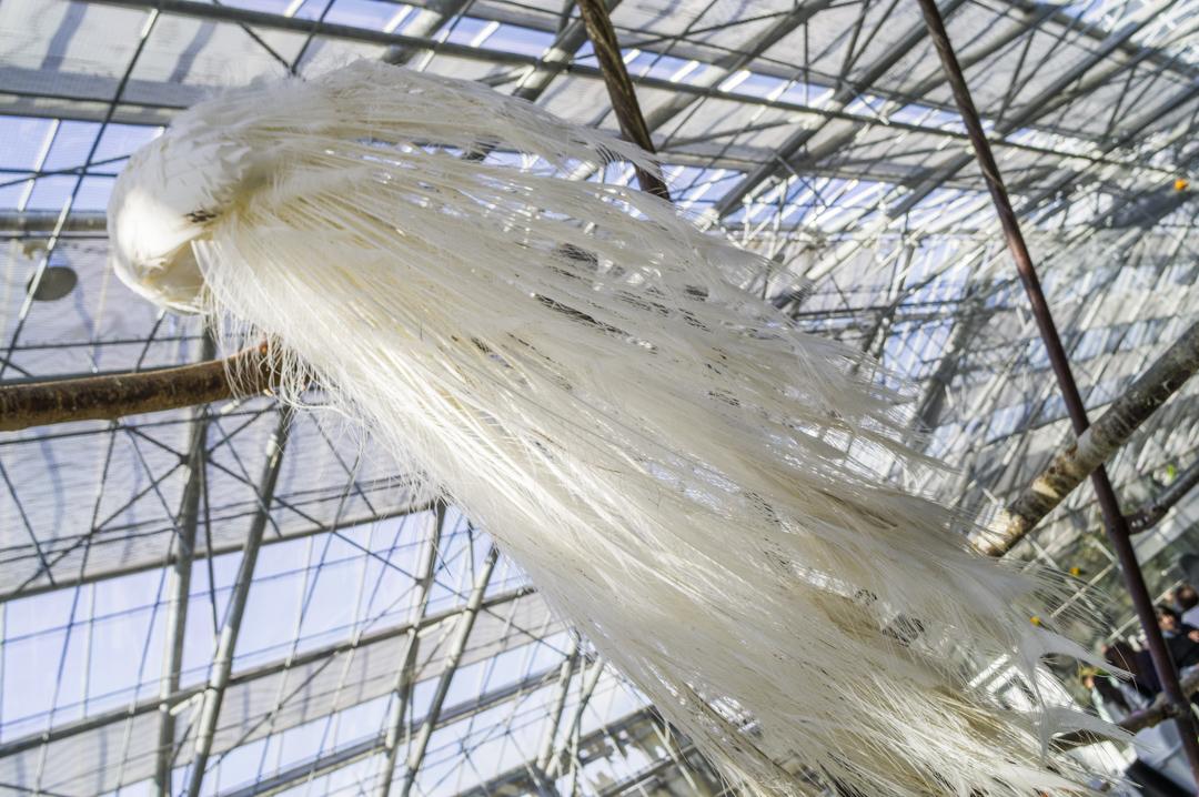 掛川花鳥園の大きい白孔雀