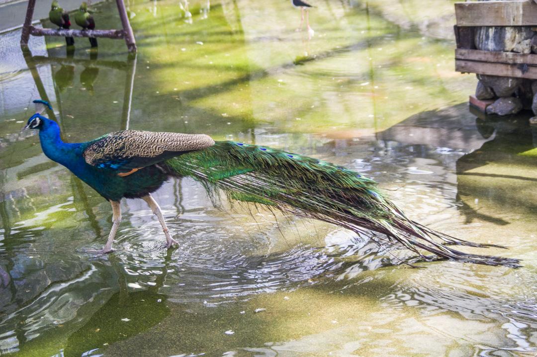 掛川花鳥園のインドクジャク
