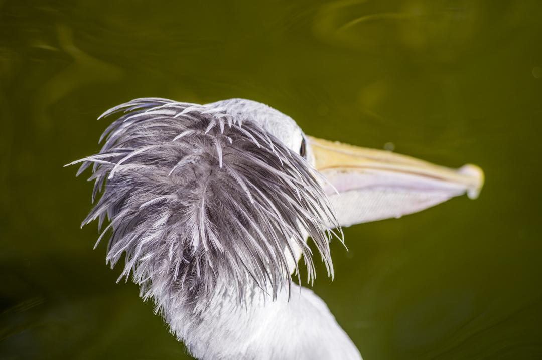 掛川花鳥園のコシベニペリカン