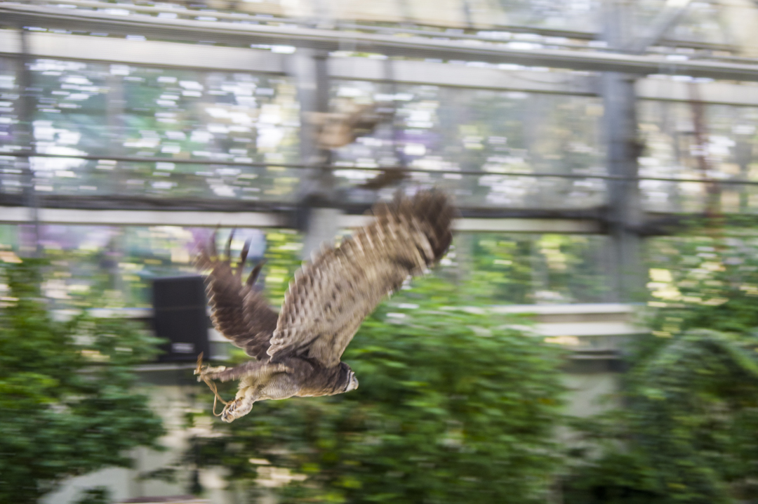 飛翔するフクロウショー