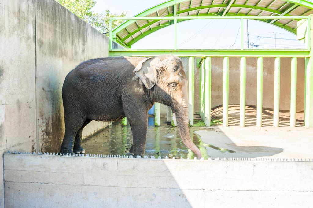 甲府市遊亀公園付属動物園のアジアゾウてる
