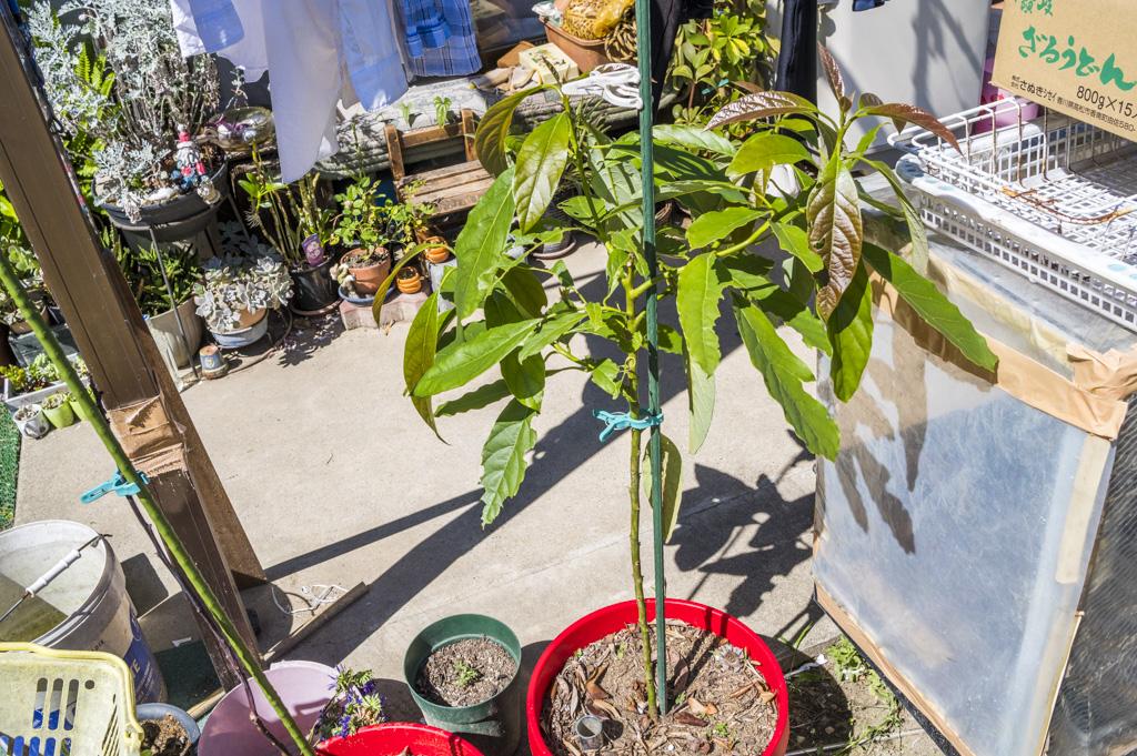 アボカドの栽培成長記録