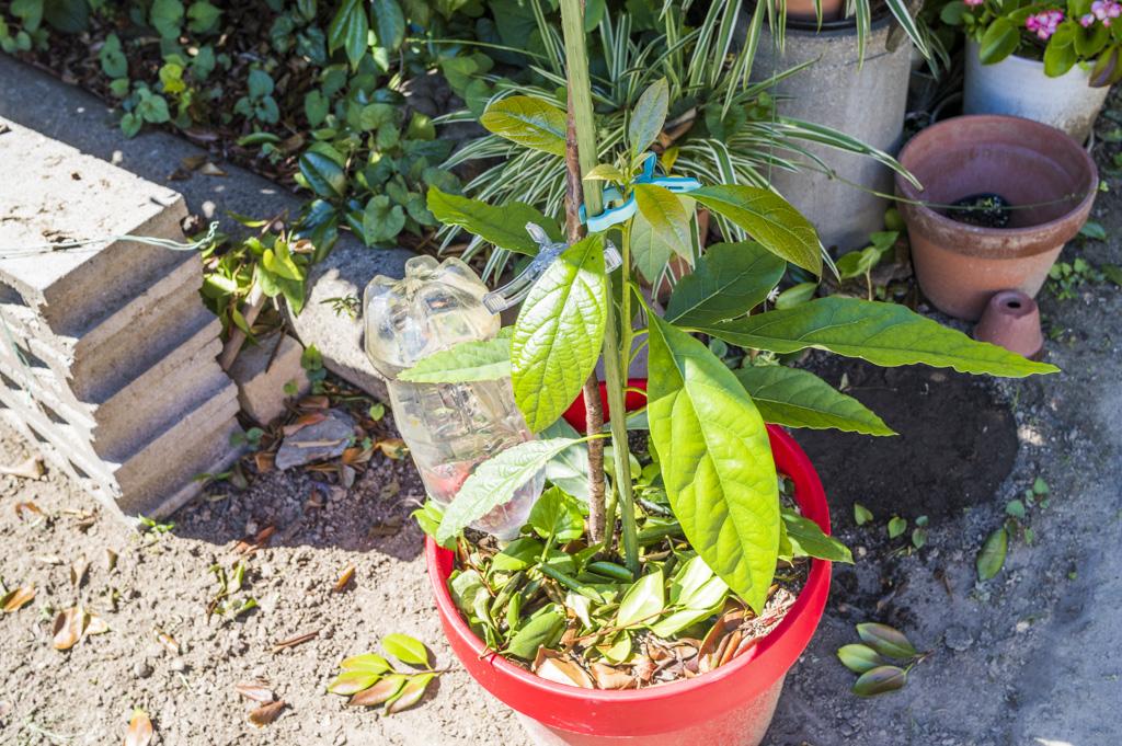 アボカド家庭菜園の栽培記録