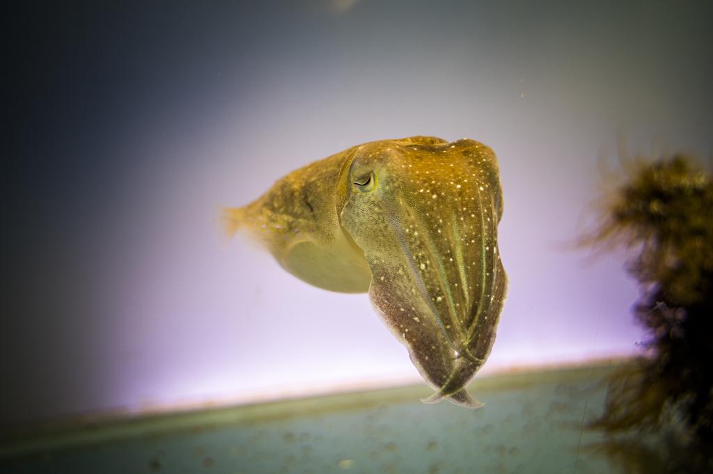 鳥羽水族館のコブシメ