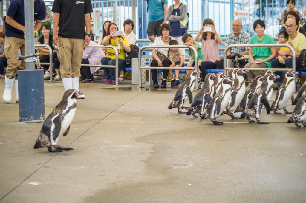 鳥羽水族館のペンギン散歩
