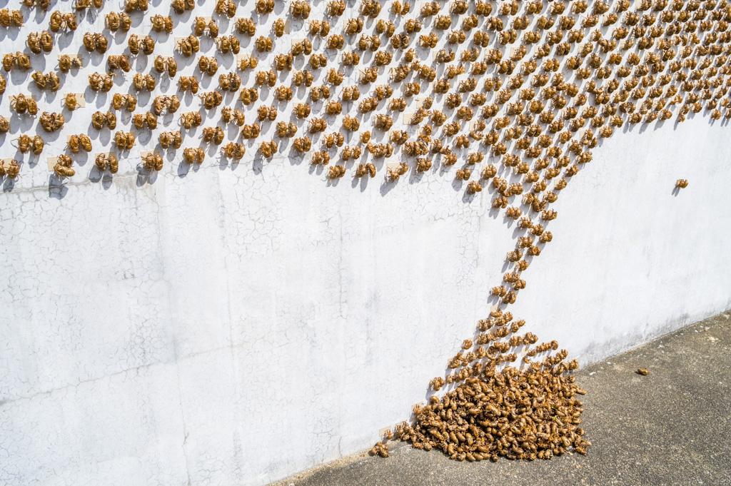 2018年seboneのtakahiroishiyamaセミの抜け殻作品