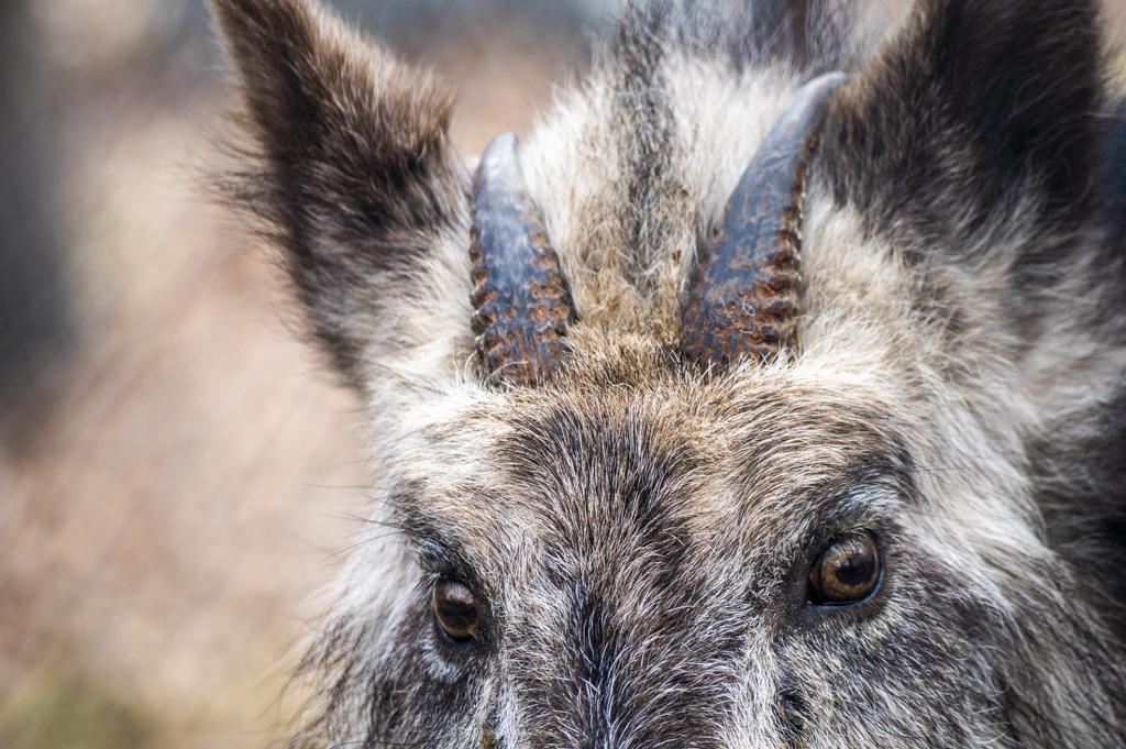 ニホンカモシカの顔。小さくても存在感のある角ときれいな毛並み