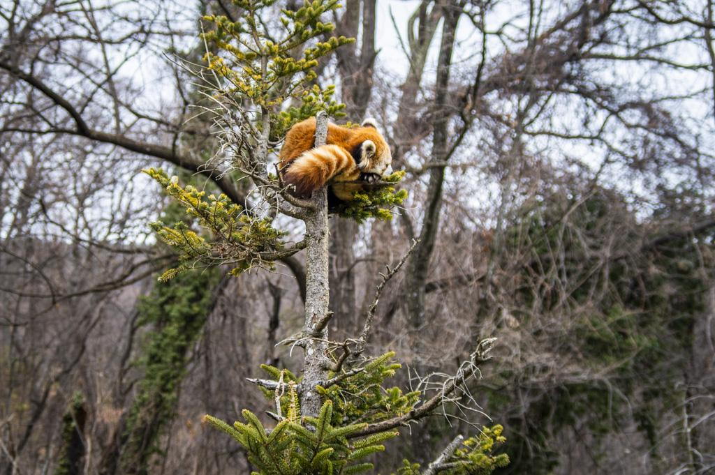 登った木のてっぺんで丸まっているレッサーパンダ