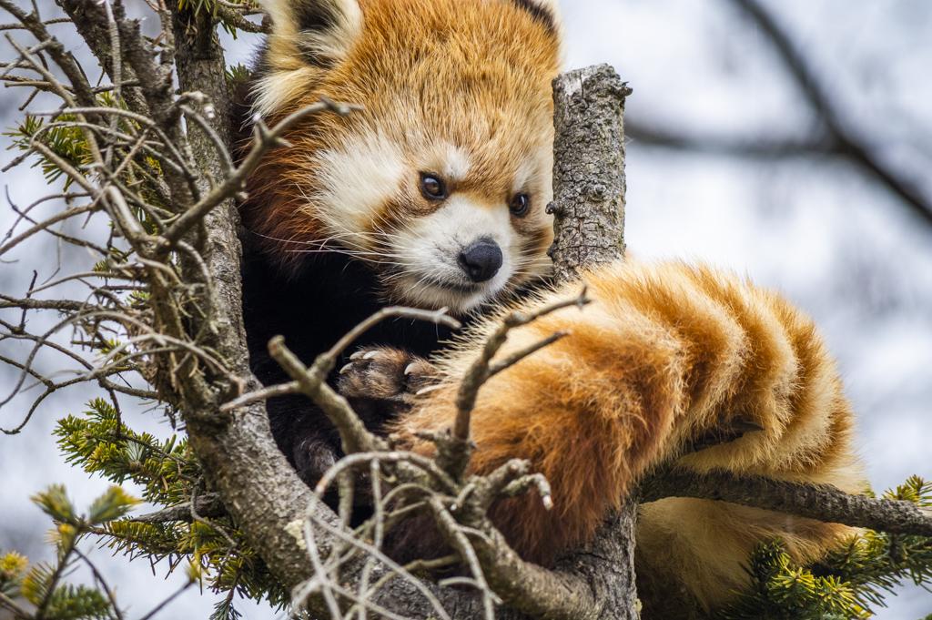 しっぽを木にまきつけバランスをとるレッサーパンダ
