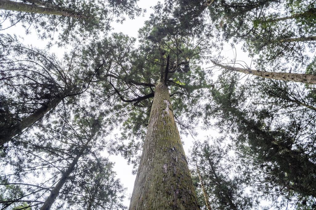 鳳来寺山傘杉