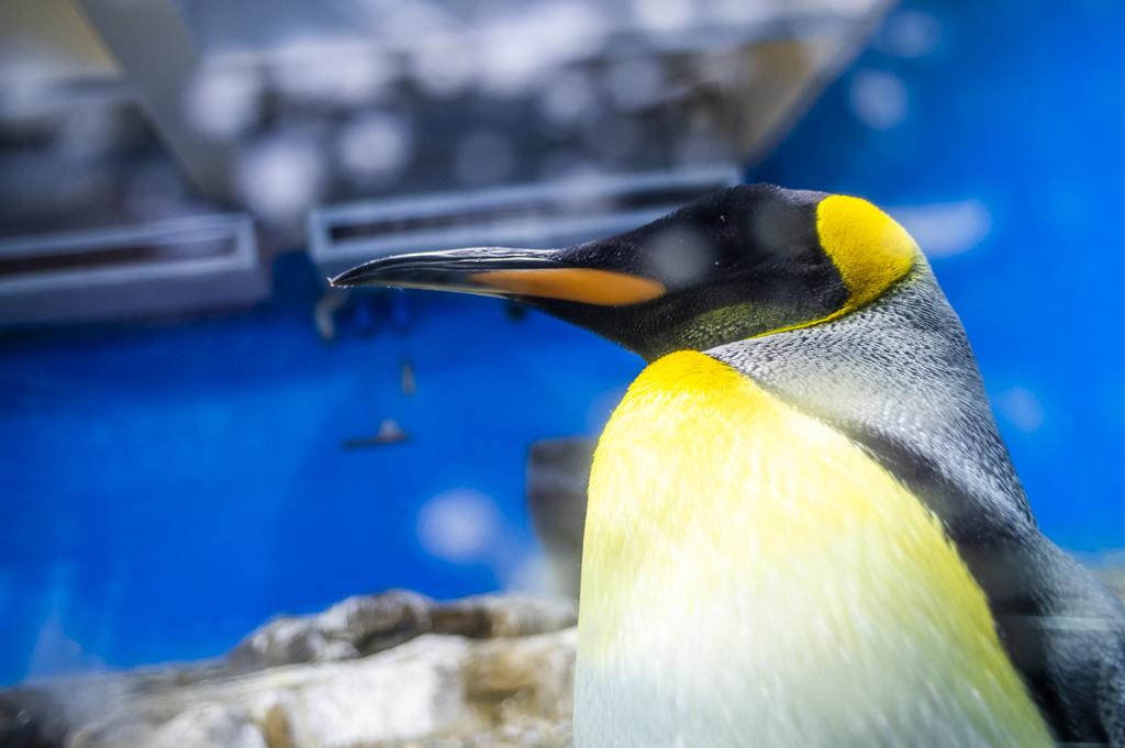ガラスの間近まで来ているペンギンのアップ