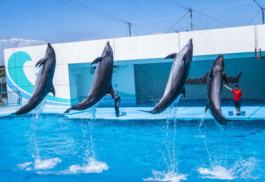 イルカショーで4頭同時にジャンプするイルカたち