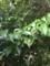 榊の花(岩手県日高見神社)