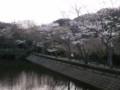 散在ガ池(鎌倉湖)・桜その2