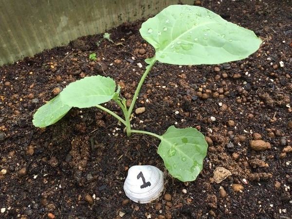 ブロッコリー植え付け