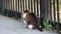 江の島の猫01