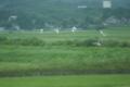 田畑を行く鳥の群れ