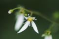 [花]ユキノシタ