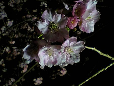 河津桜まつり-夜桜3